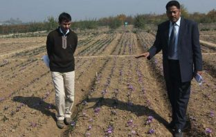 Central Institute of Temperate Horticulture, an extension of Indian Council of Agriculture Research (ICAR) has vast farm labs for Saffron Cultivation-- Photo: Bilal Bahadur.