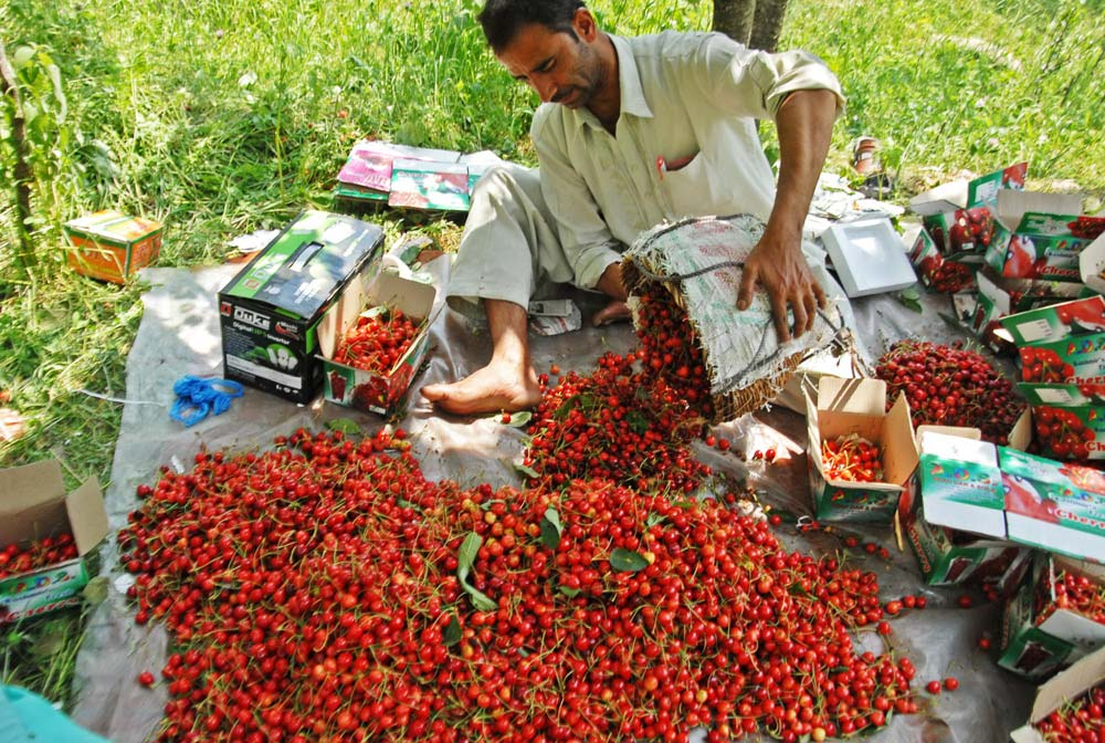 Image result for kashmiri cherry farmers