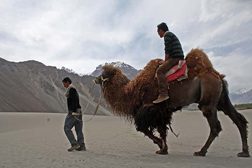 A Tourist Riding Double Humped Camel In Nubra Valley Ladakh
