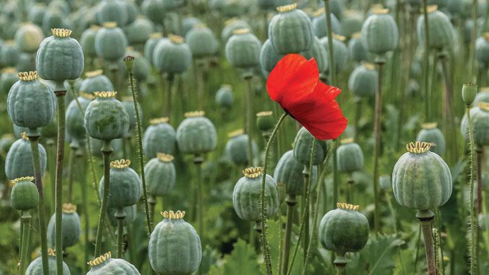 Poppy-Fields