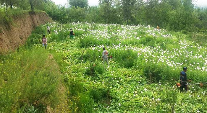 poppy-destroyed-south-Kashmir