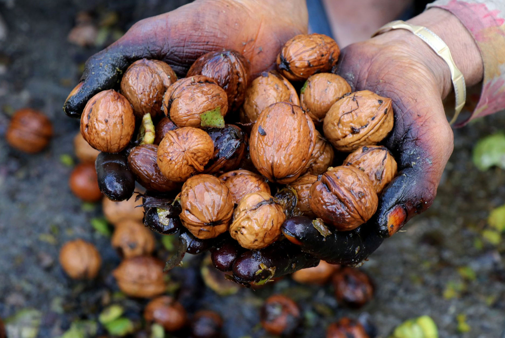 Kashmir's Walnut Harvest Season in Pictures