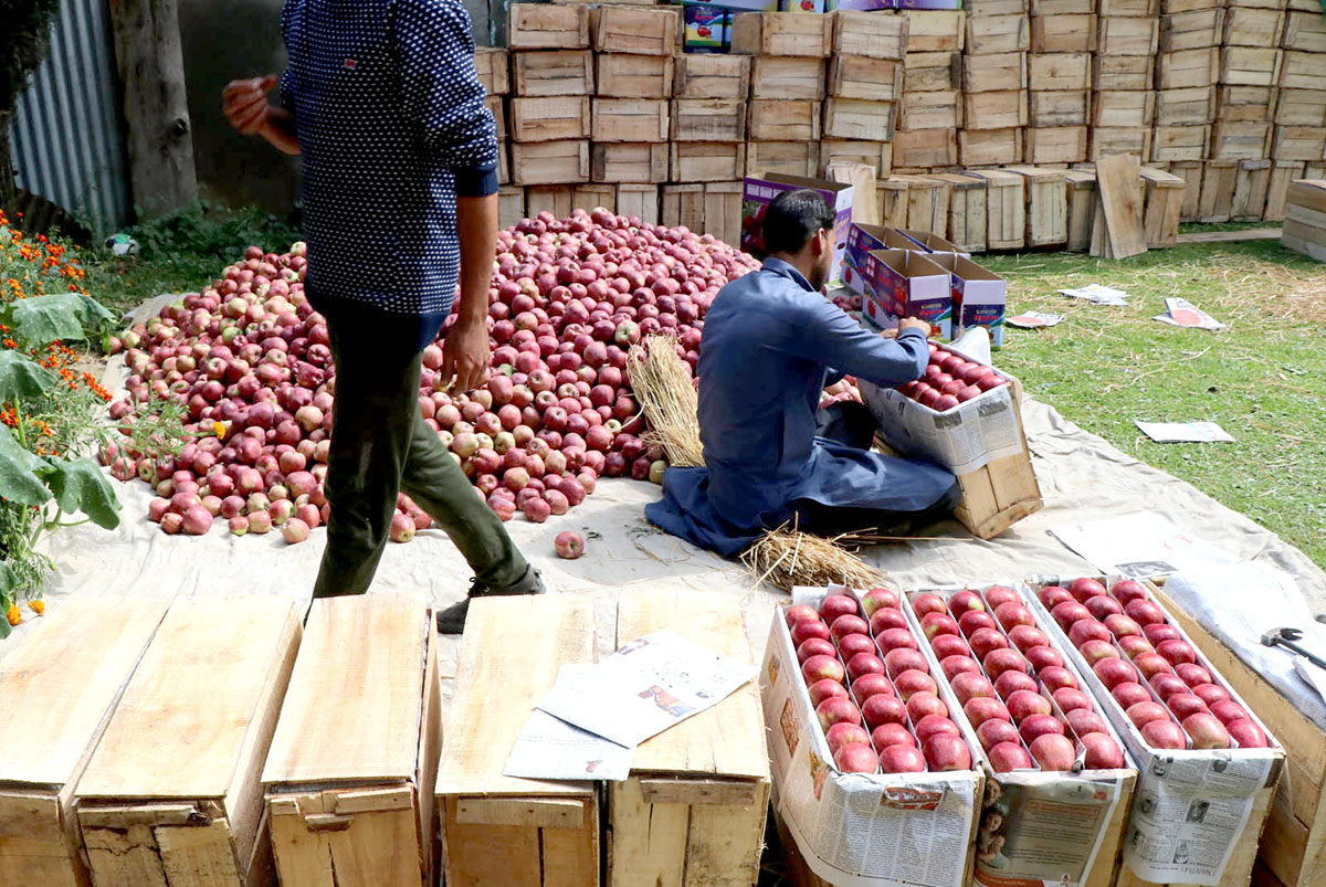 A local worker packing apples.